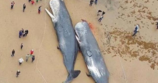 ドイツの海岸に大量のクジラのシ骸…胃から出てきたものに全世界が衝撃を受ける…