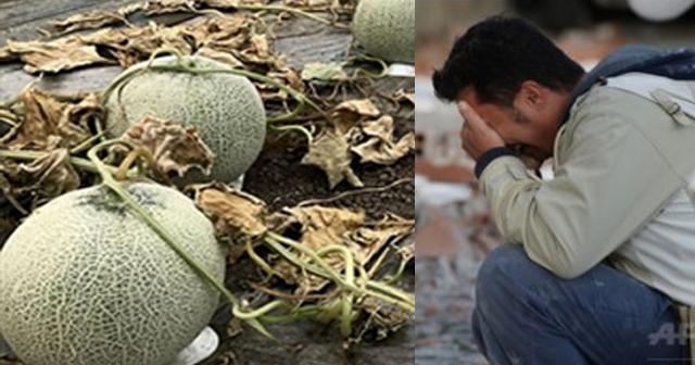 【年商1億メロン全滅】北海道のメロン農家が除草剤を撒かれ大損失…廃業危機に追いやった犯人がついに判明!?【画像あり】