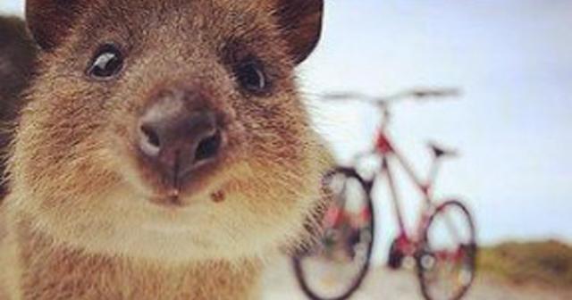 か・・・・・・可愛い(*´ω`*)!!世界一幸せな動物、クアッカワラビーの自撮りが可愛すぎる!